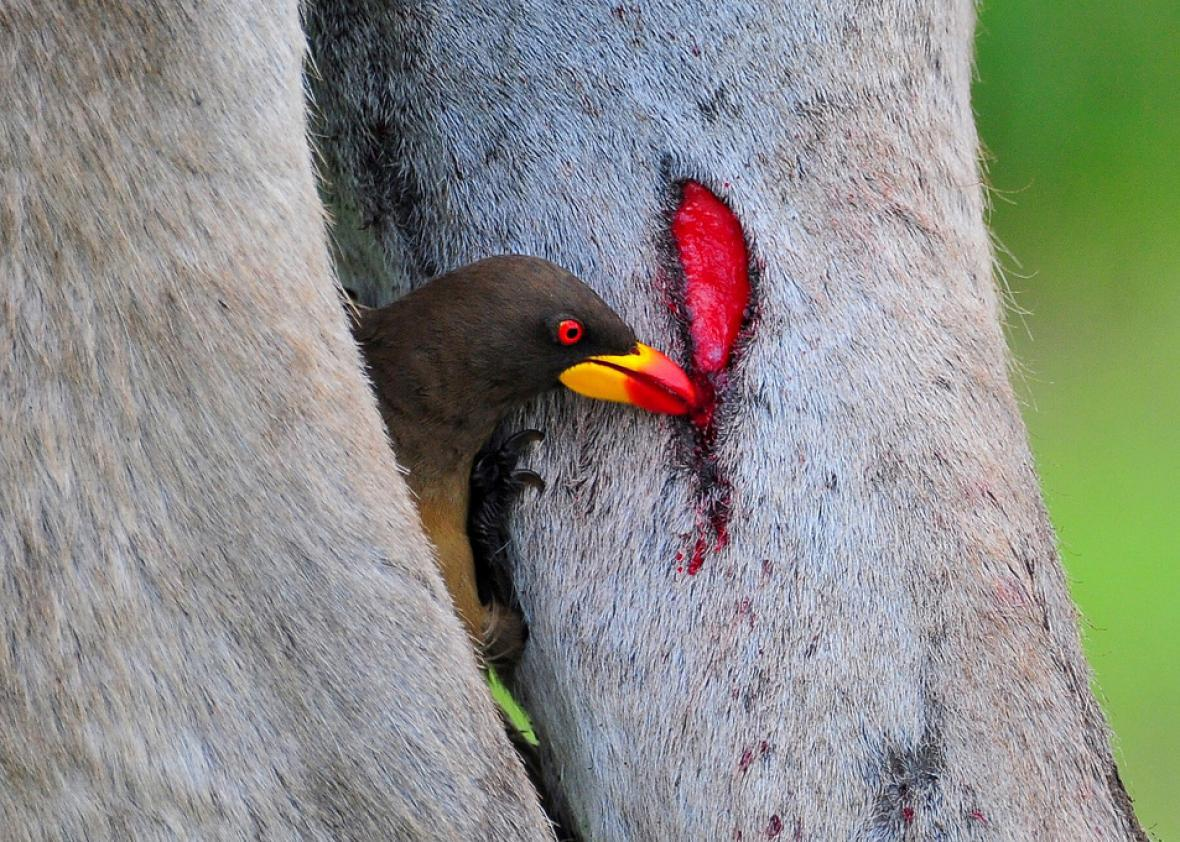 vampire finches and oxpecker birds drink blood
