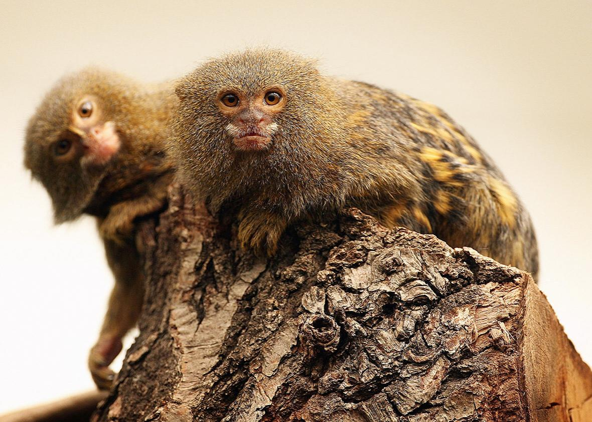Two Pygmy Marmosets sit in a tree at London Zoo's new exhibit 'The Clore Rainforest Lookout' opens on May 24, 2007 in London.