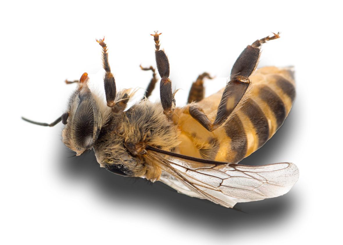 dead honeybee.