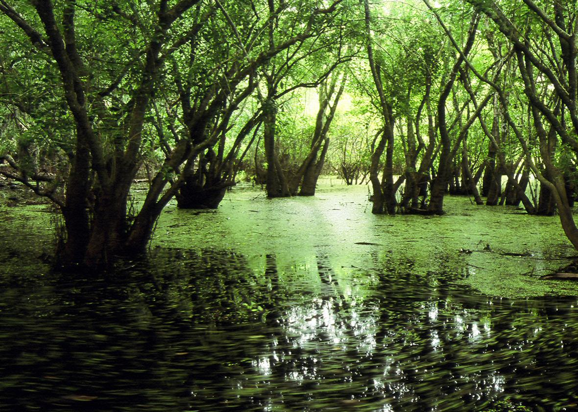 Swamp in the Everglades.