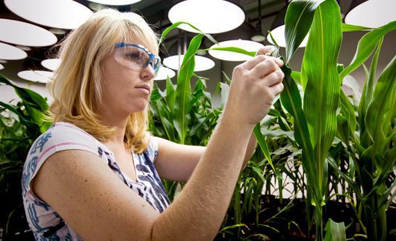 Research Biologist Heidi Windler takes tissue samples from genetically modified corn plants inside a climate chamber housed in Monsanto agribusiness headquarters in St Louis, Missouri, 21 May 2009.