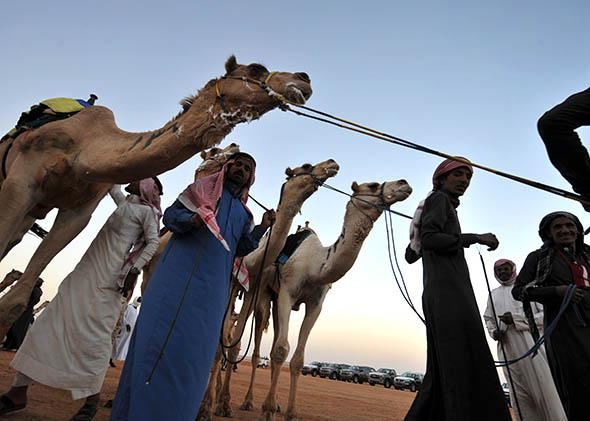 Saudi jockeys lead their camels at the end of a race during the opening ceremony of the 29th Janadriyah festival.