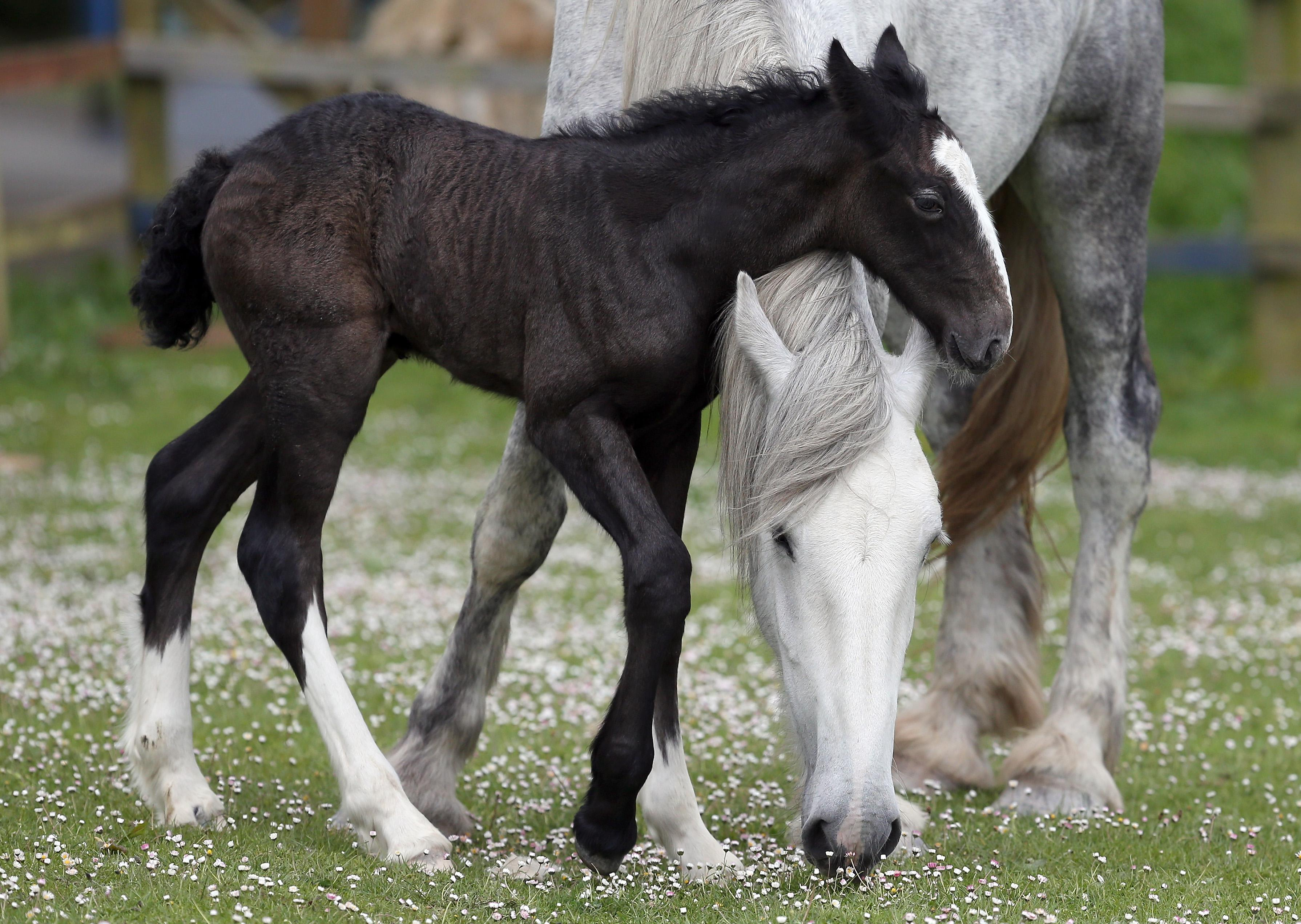 A week-old shire foal with its mother.