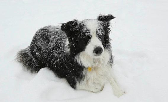 Rose overseeing the sheep while in a snow storm.