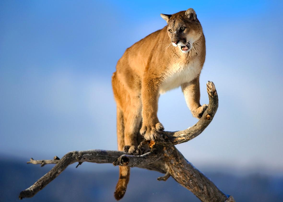 The male mountain lion is standing on the dead wood.