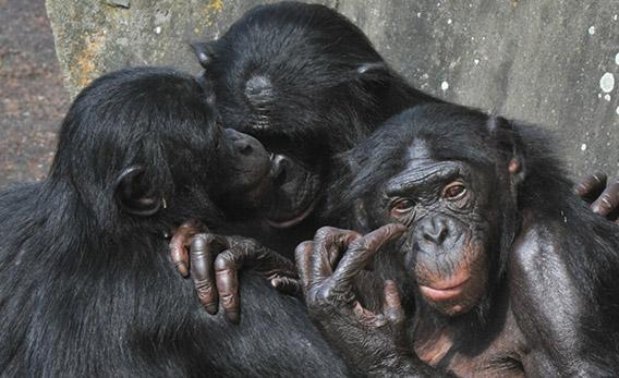 Bonobos.