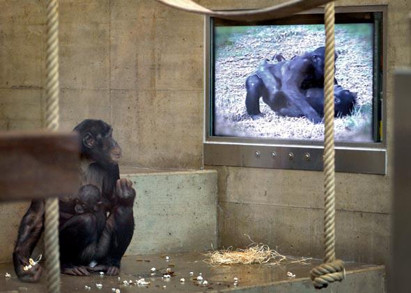A bonobo with a baby watches a film displayed on a screen in the chimpanzee's enclosure at the Wilhelma zoo in Stuttgart, southern Germany, on November 25, 2013.