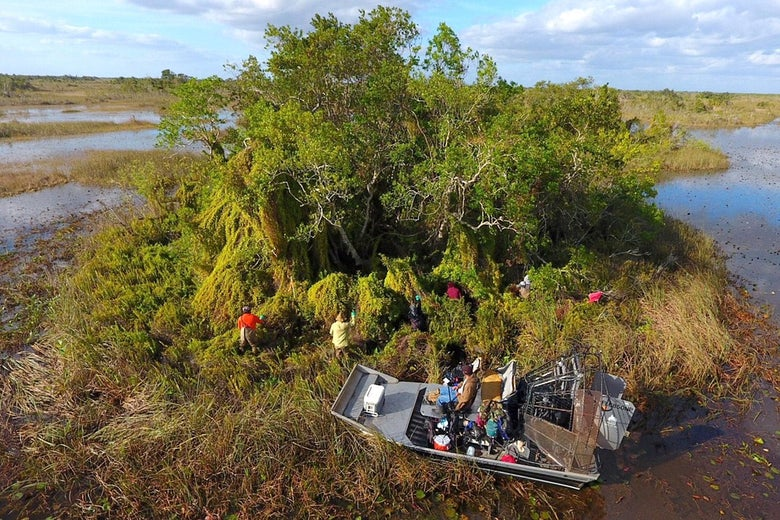 Ground crews use machetes and glyphosate to free an Everglades tree island from the clutches of invasive Old World climbing fern. Photo © Jonathan Glueckert/University of Florida
