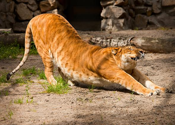 A liger, a mixture between a lion and a tiger, stretches.