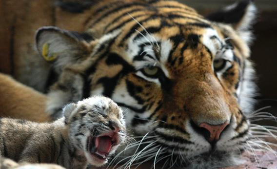 A Siberian tiger cub is seen with its mother at a zoo in Harbin.