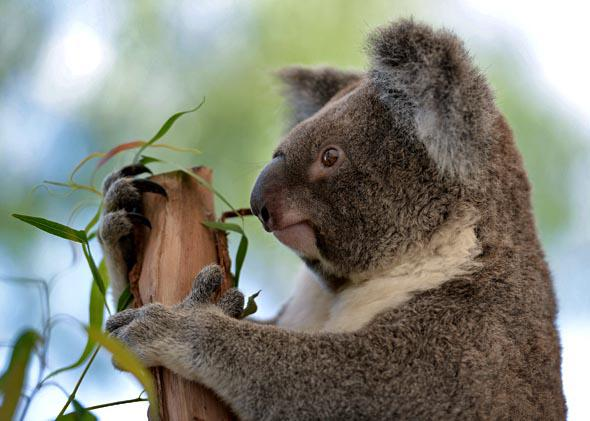 A koala sits on a branch at the Wild Life Sydney Zoo